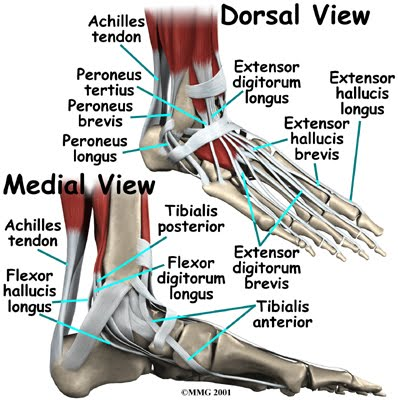 Anatomy of The Foot - Laser Foot Care Of NY - (914) 365-2800